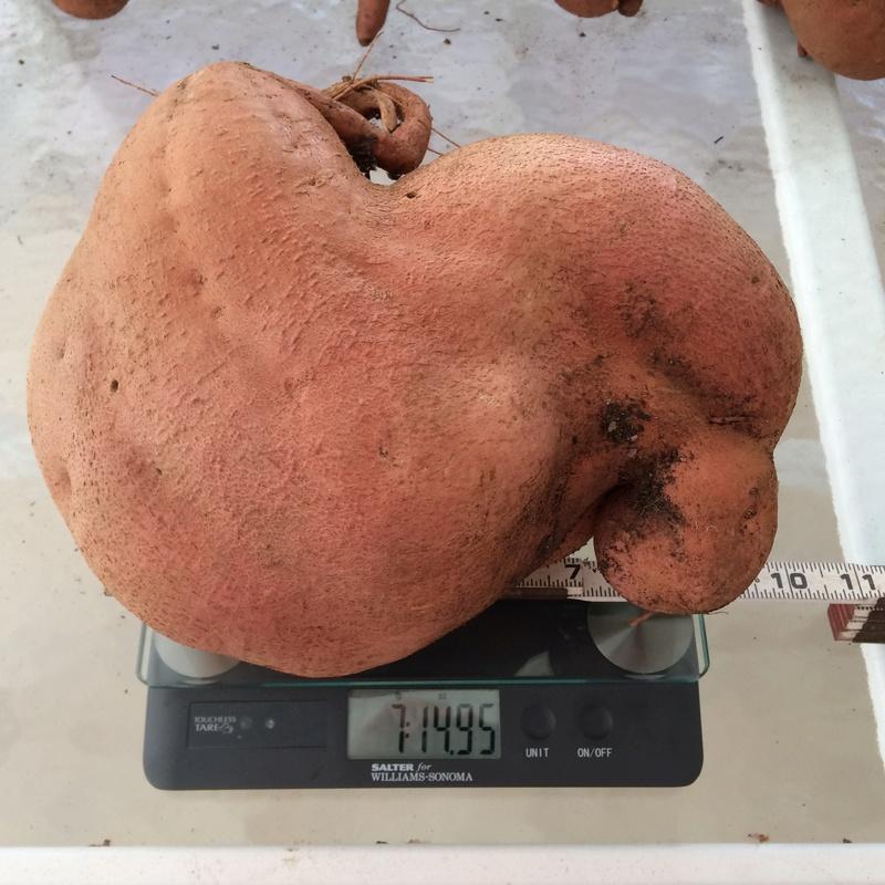 Sweet Potatoes - Page 3 Sweet_15