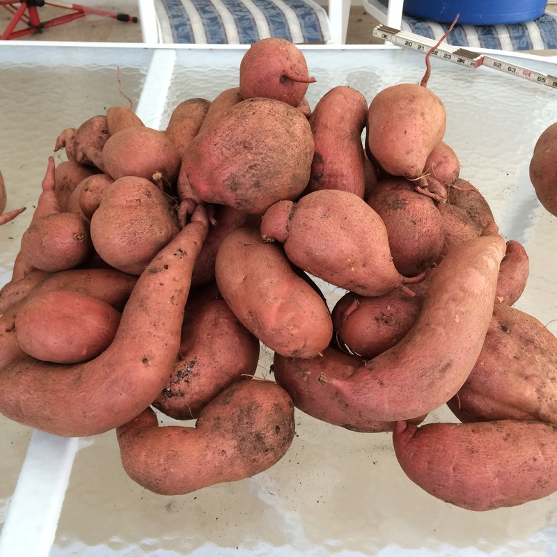 Sweet Potatoes - Page 3 Sweet_17