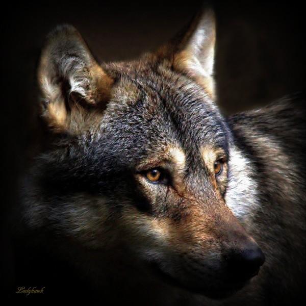 encore des loups Img_0810