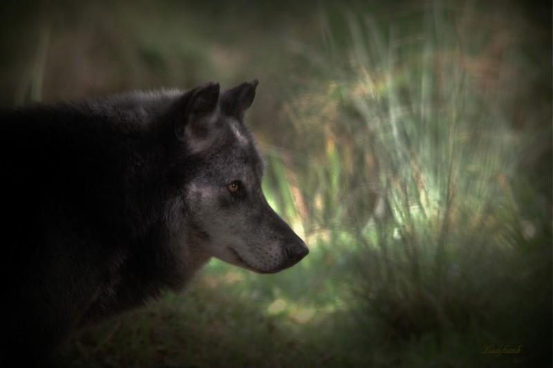 encore des loups Img_0913