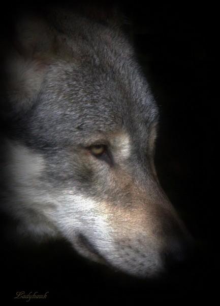 encore des loups Img_0914