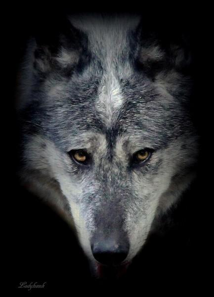 encore des loups Img_0915