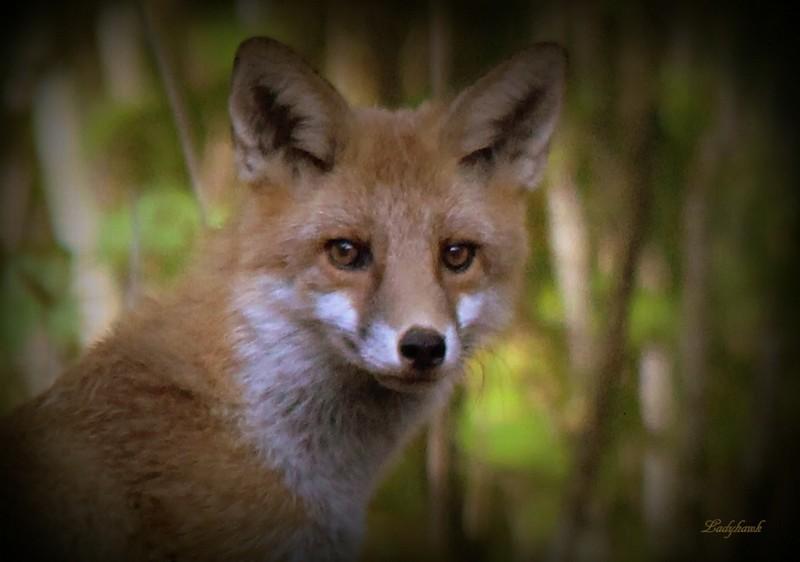 jeune fox Img_6110