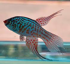 Petites nouvelles de ma fish room... - Page 6 Marate10