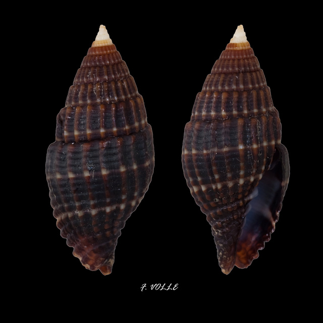 Vexillum millecostatum - (Broderip, 1836) Vexill10