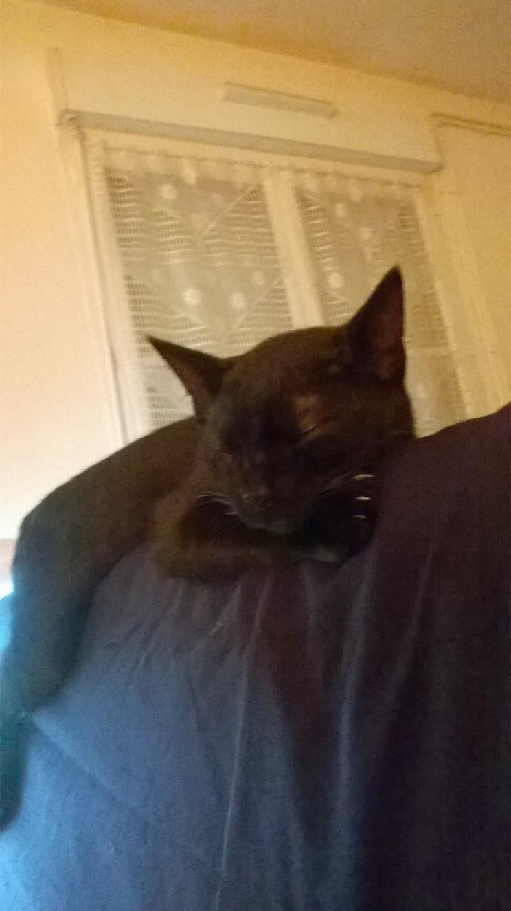 mambo - MAMBO, chaton européen noir, né mai 2016 Fot14710