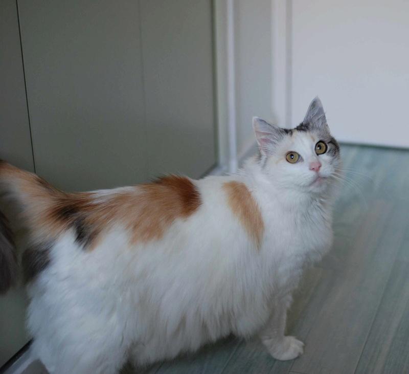 haya - Haya, femelle de type Européen tricolore, poils longs, née en 2012 Haya_510