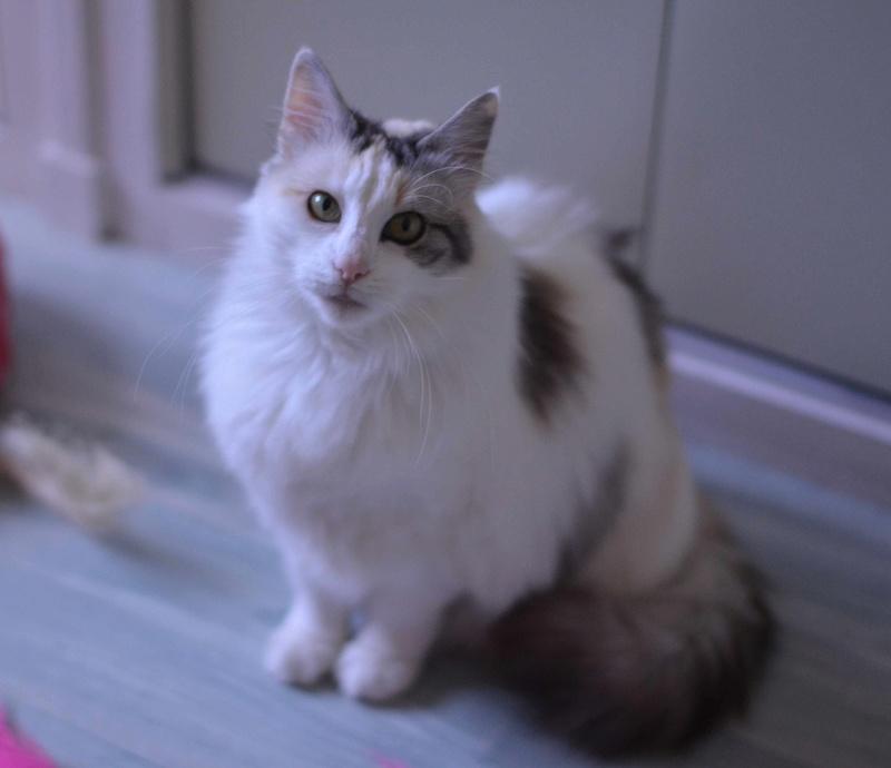 haya - Haya, femelle de type Européen tricolore, poils longs, née en 2012 Haya_p10