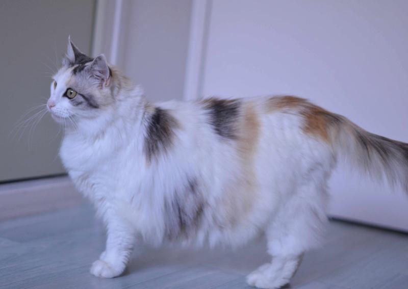haya - Haya, femelle de type Européen tricolore, poils longs, née en 2012 Haya_p11