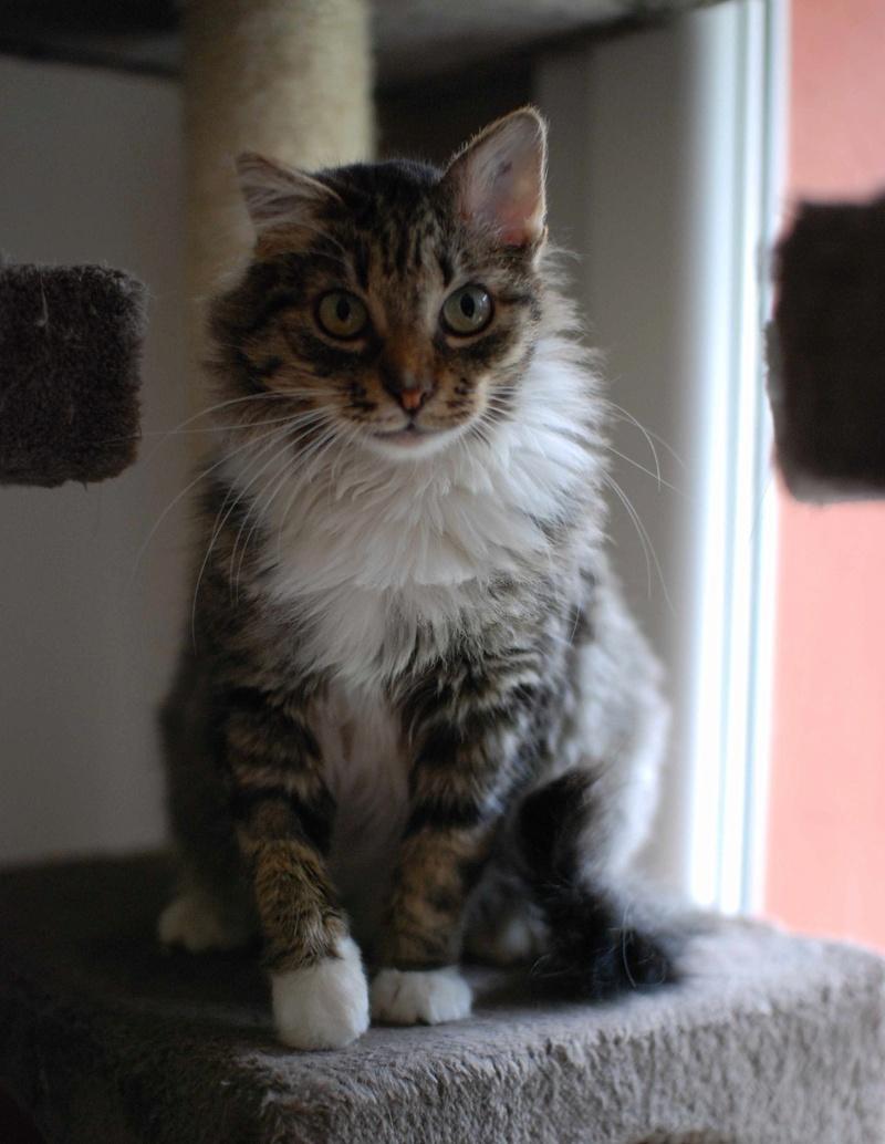 inette - INETTE, chatte européenne tigrée & blanche, poils mi-longs, née en 2013 Inette15