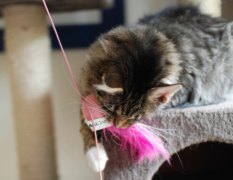 inette - INETTE, chatte européenne tigrée & blanche, poils mi-longs, née en 2013 Inette16