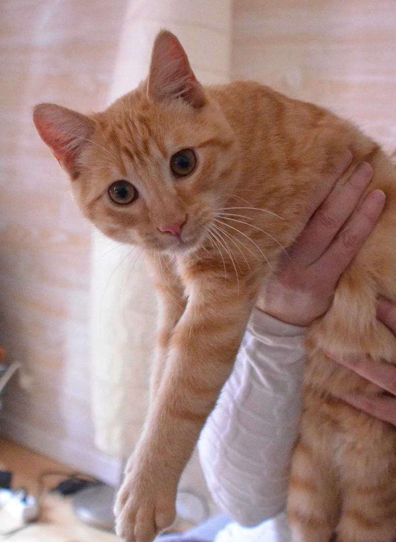 luffy - LUFFY, chat européen tigré roux, né le 05/02/16 Luffy_11