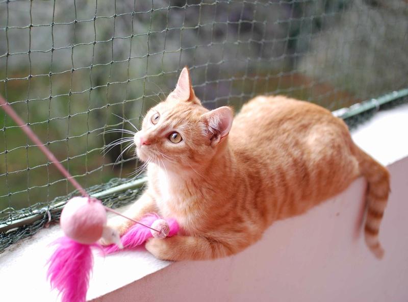 luffy - LUFFY, chat européen tigré roux, né le 05/02/16 Luffy_12