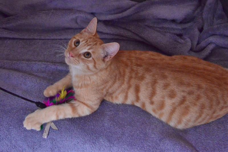 luffy - LUFFY, chat européen tigré roux, né le 05/02/16 Luffy_14
