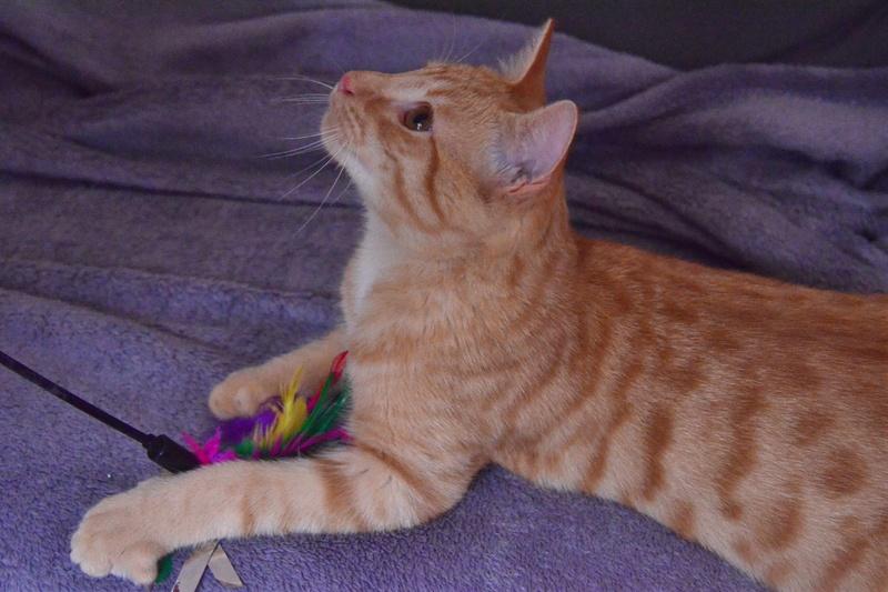 luffy - LUFFY, chat européen tigré roux, né le 05/02/16 Luffy_15