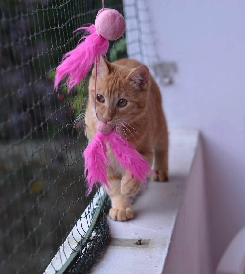 luffy - LUFFY, chat européen tigré roux, né le 05/02/16 Luffy_16