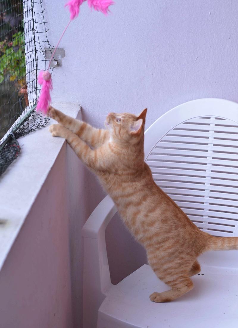 luffy - LUFFY, chat européen tigré roux, né le 05/02/16 Luffy_17