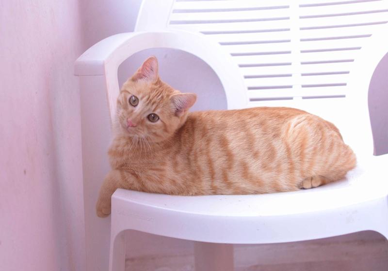 luffy - LUFFY, chat européen tigré roux, né le 05/02/16 Luffy_18