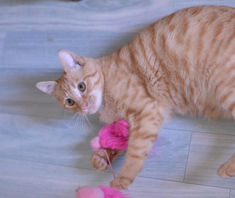 luffy - LUFFY, chat européen tigré roux, né le 05/02/16 Luffy_19