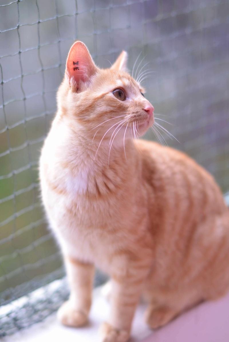 luffy - LUFFY, chat européen tigré roux, né le 05/02/16 Luffy_20