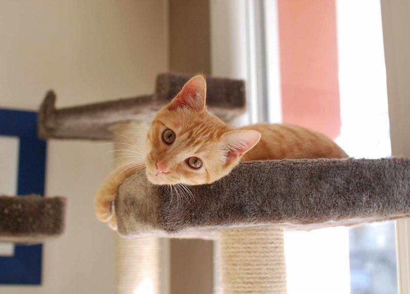 luffy - LUFFY, chat européen tigré roux, né le 05/02/16 Luffy_22