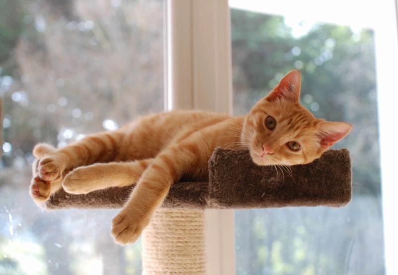 luffy - LUFFY, chat européen tigré roux, né le 05/02/16 Luffy_23