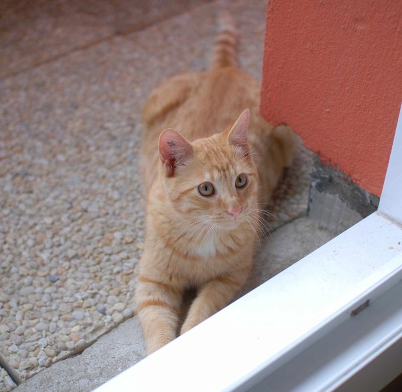 luffy - LUFFY, chat européen tigré roux, né le 05/02/16 Lyffy_10