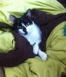 LYNETTE, chatonne européenne, noire & blanche, née le 20/10/15 Lynett10