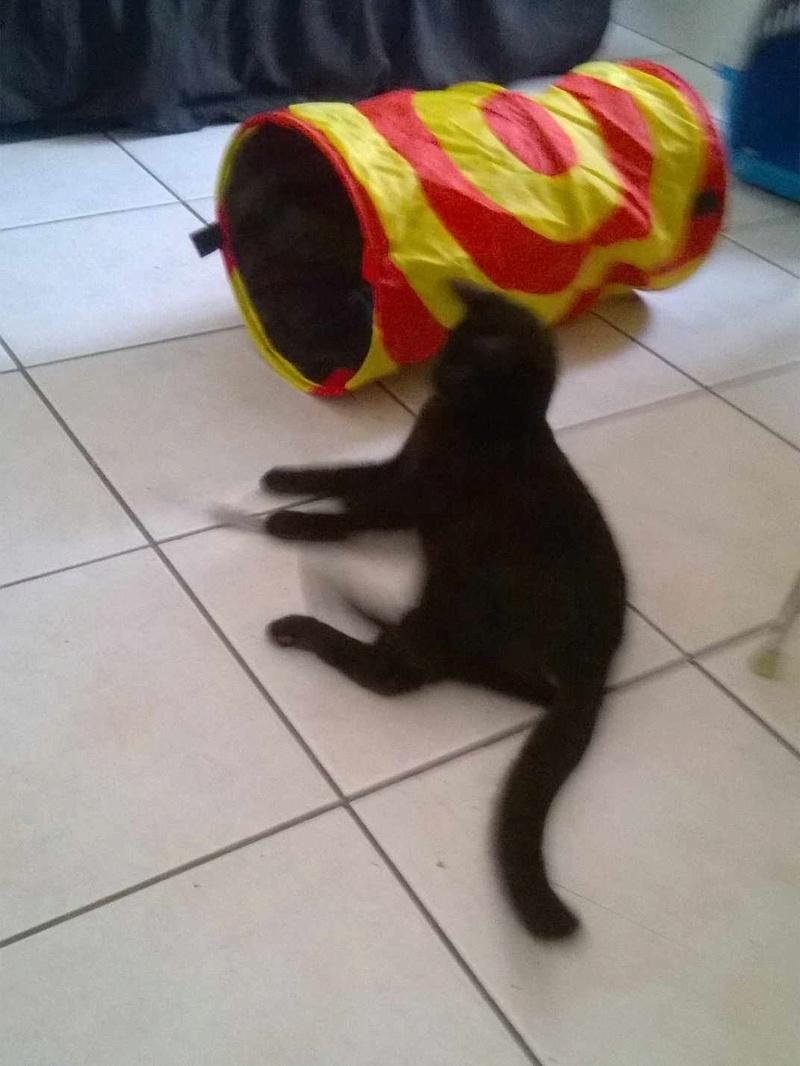 mambo - MAMBO, chaton européen noir, né mai 2016 Mambo_10