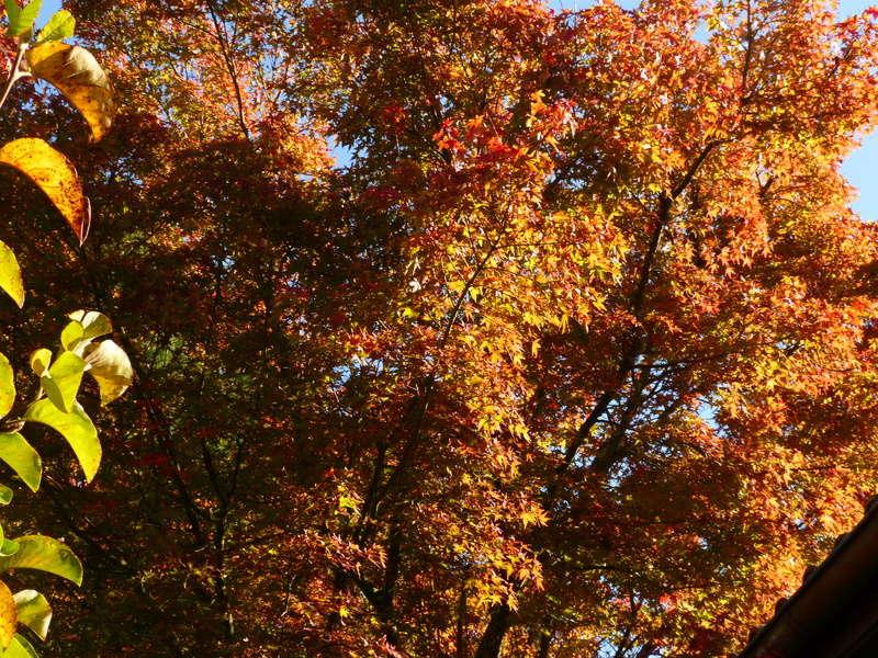 feuillages d'automne 2016 Acer_p10
