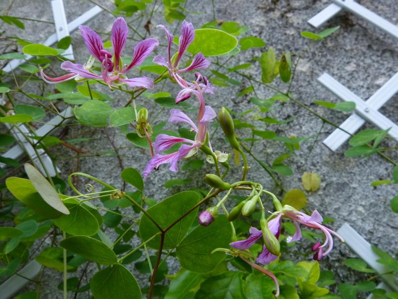 Bauhinia yunnanensis - Page 3 Bauhin13