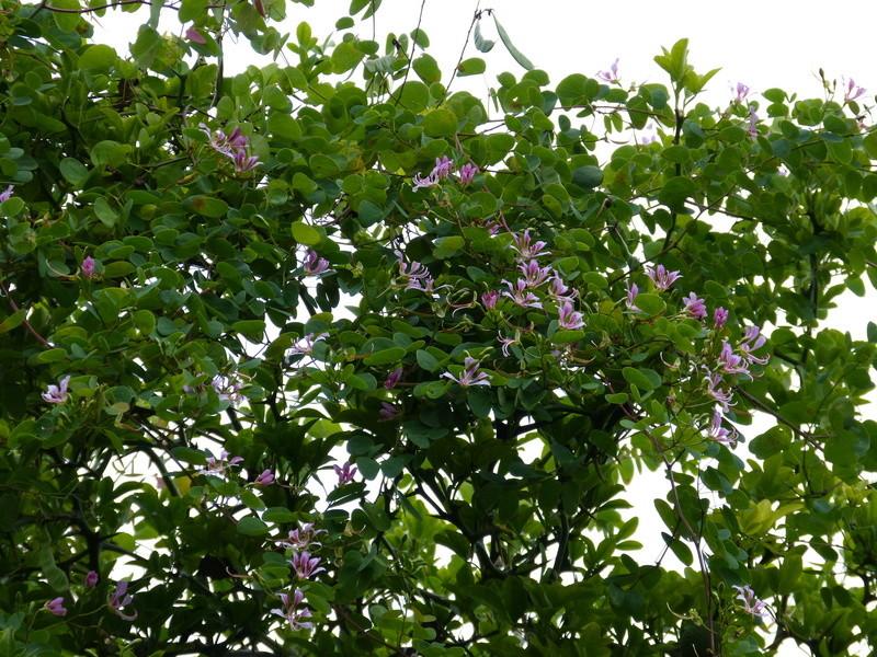 Bauhinia yunnanensis - Page 3 Bauhin14