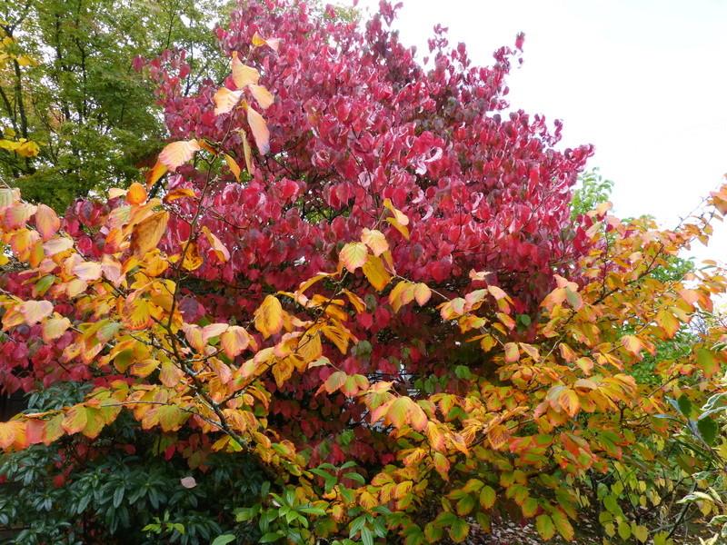 feuillages d'automne 2016 Cornus11