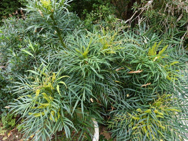 Mahonia eurybracteata - Page 3 Mahoni10