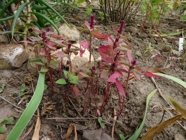 ondées d'octobre, le jardin renaît - Page 2 Amaran13