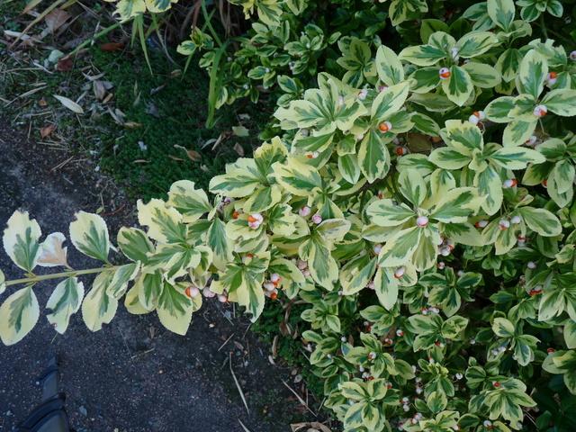 ondées d'octobre, le jardin renaît - Page 2 Fusain10