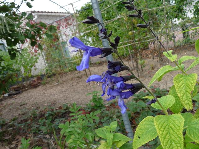 ondées d'octobre, le jardin renaît - Page 2 Salvia11
