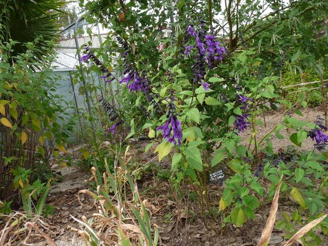 ondées d'octobre, le jardin renaît - Page 2 Salvia12