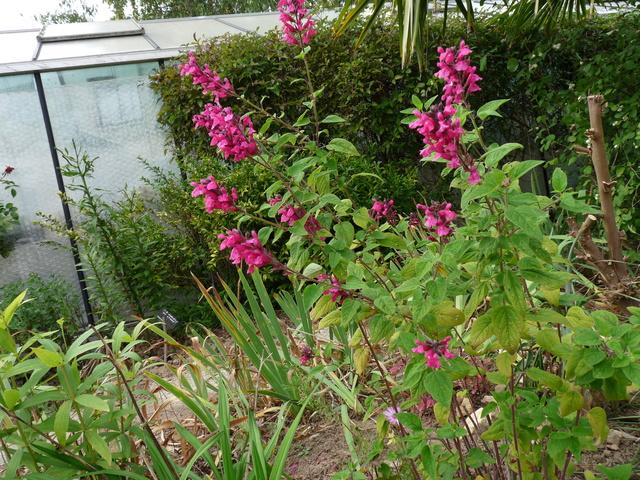 ondées d'octobre, le jardin renaît - Page 2 Salvia14