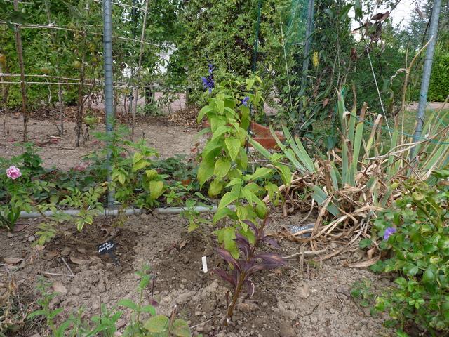 ondées d'octobre, le jardin renaît - Page 2 Salvia15