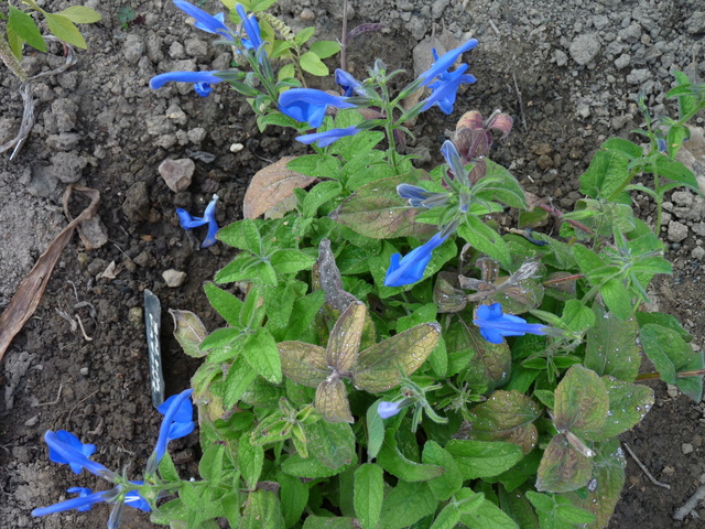 ondées d'octobre, le jardin renaît - Page 2 Salvia17