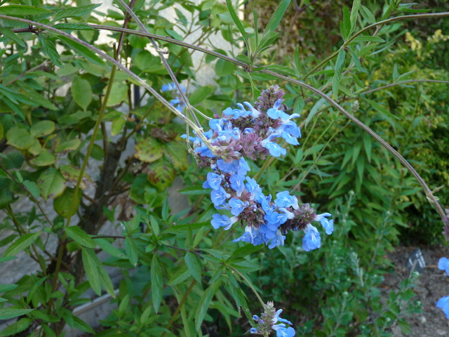 ondées d'octobre, le jardin renaît - Page 2 Salvia18