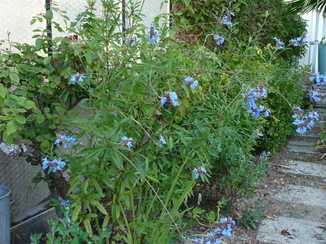 ondées d'octobre, le jardin renaît - Page 2 Salvia19
