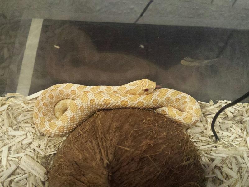 1 Python Brongersmai ; 2 Heterodon nasicus nasicus ; 1 Boa constrictor imperator 20160810