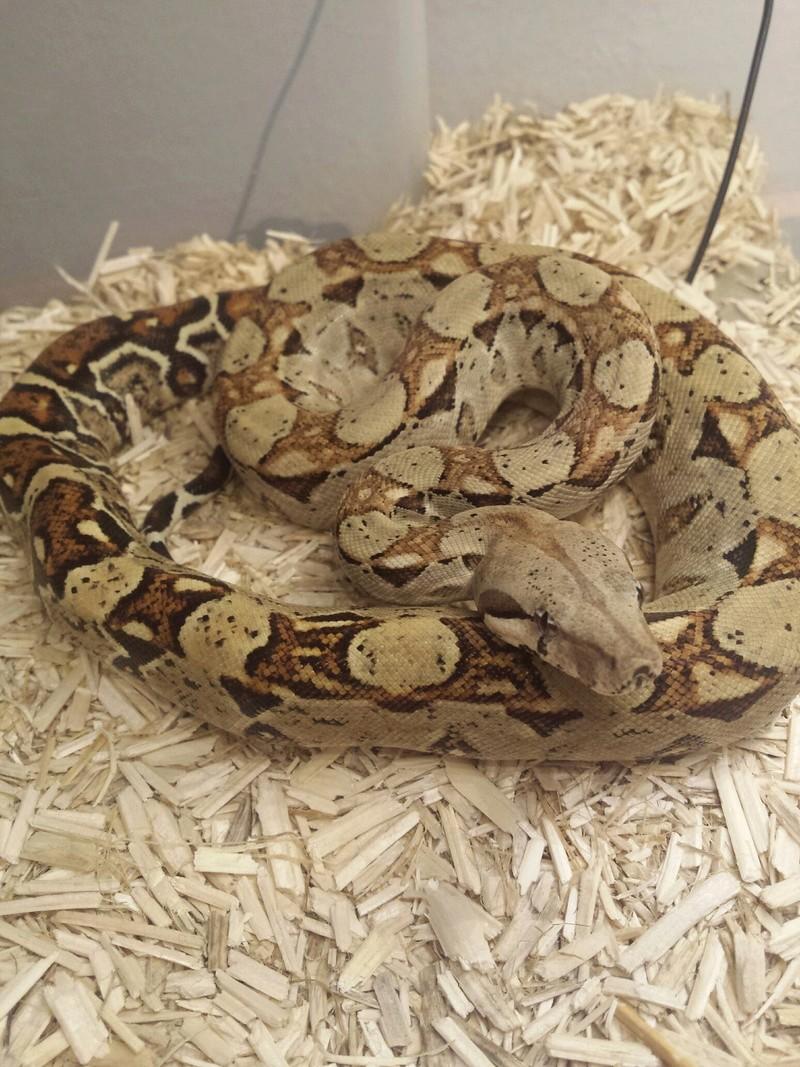 1 Python Brongersmai ; 2 Heterodon nasicus nasicus ; 1 Boa constrictor imperator 20160811