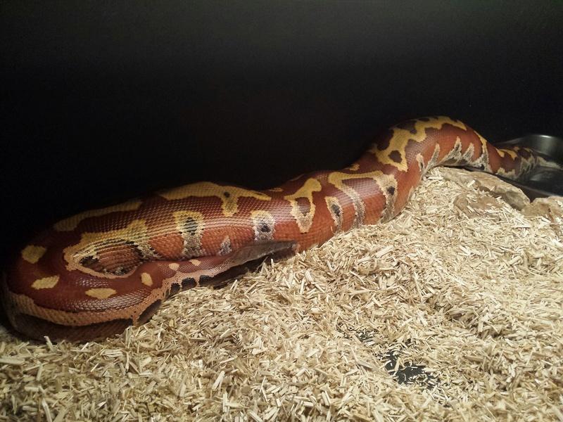 1 Python Brongersmai ; 2 Heterodon nasicus nasicus ; 1 Boa constrictor imperator 20160910