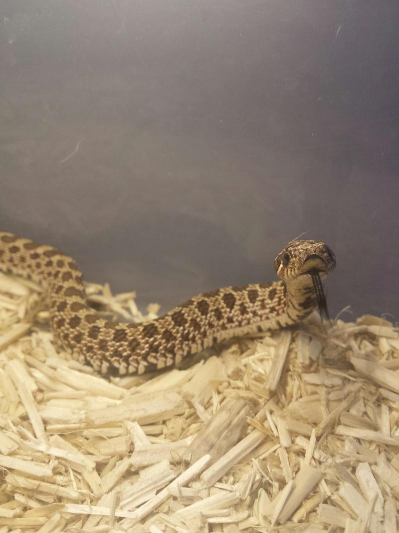 1 Python Brongersmai ; 2 Heterodon nasicus nasicus ; 1 Boa constrictor imperator 20160912