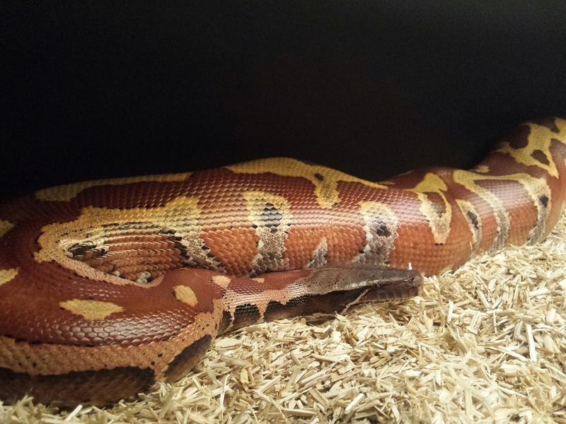 1 Python Brongersmai ; 2 Heterodon nasicus nasicus ; 1 Boa constrictor imperator 20160913