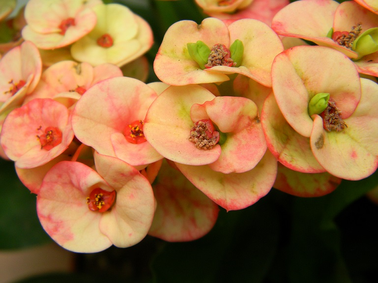 Euphorbia millii - Page 2 Mil10