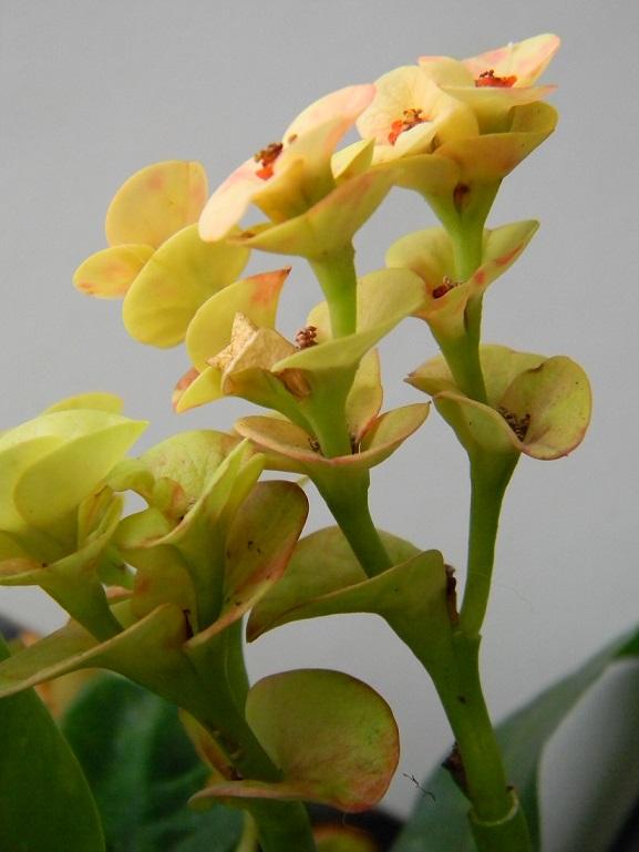 Euphorbia millii - Page 2 Mil210
